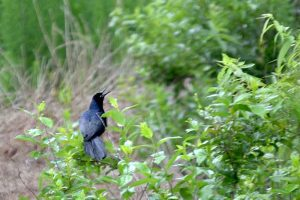 This midnight blue or black bird is the Common Grackle and has an unusual song