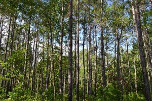 Longleaf pine while hiking in Clay County