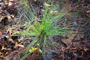 Florida Wire Grass