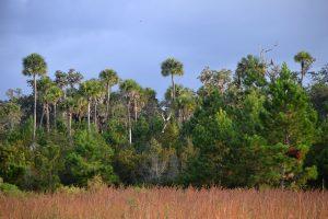 An abundance of palms and pines