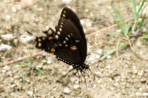 Palamedes Swallowtail butterfly, dark brown or black wings with orange, blue and white spots