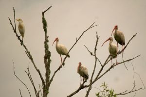 Ibis and Cattle Egret