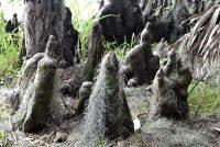 Abundant Cypress Knees