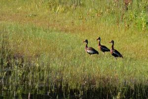 Three black-bellied whistling ducks at Indian Lake State Forest