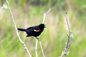 The Red Winged Blackbirds were also singing