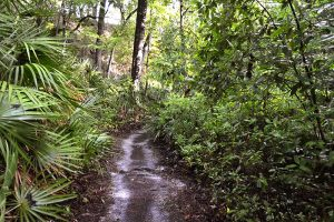 Hiking Ridge Trail at Gold Head Branch State Park