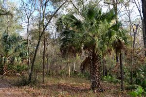 Sabal Palm, or Cabbage Palm, is the Florida State Tree