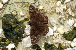 Horace's Duskywing - tiny brown butterfly with white spots in Central Florida