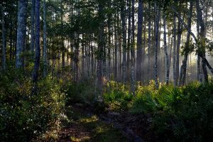 Sunburst in forest