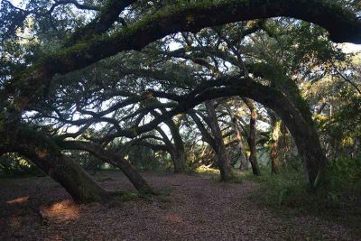 Leaning live oak canopy with resurrection ferns growing on them