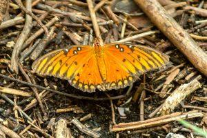 Gulf Fritallary Butterfly