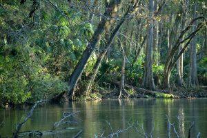 Ocklawaha River Shoreline