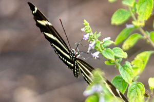 Zebra Longwing Butterfly black and yellow striped butterfly with light yellow spots