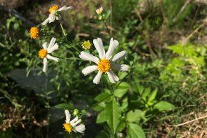 Symphyotrichum pilosum - White Oldfield aka Frost Aster