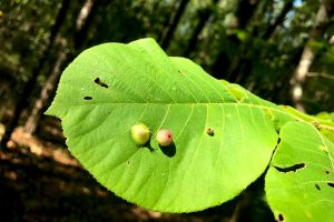 Leaf galls, here on a Live Oak (Quercus virginiana) may contain wasp larvae, but these likely contain mites
