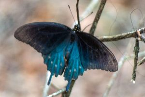 Pipevine Swallowtail is a dark butterfly with gray or black forewings and darky dusky blue hindwings with white spots