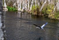 Great Blue Heron Takes Flight at River Trail