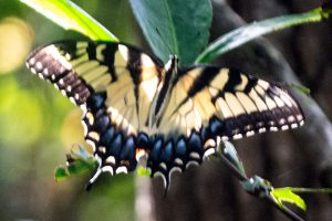 Eastern Tiger Swallowtail (female) is a large Florida butterfly, yellow and black striped wings with more blue on the wings than the male