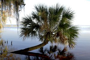 Palm tree growing from Lake George