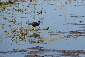 Glossy Ibis at Paynes Prairie Preserve