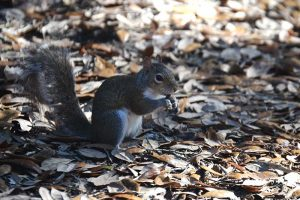 Squirrel with an Acorn