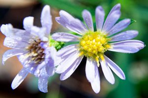 Aster cordifolius -blue wood aster - small wildflower with elongated, oval blue petals and purple or yellow center