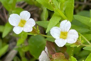 Branched Hedgehyssop - Gratiola Ramosa