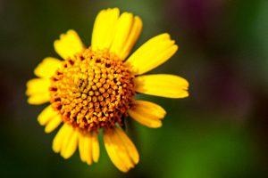 Bushy Seaside Oxeye - Borrichia frutescens, many yellow petals, yellow center, like a small daisy
