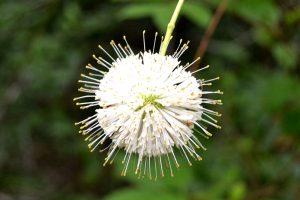 Buttonbush - Cephalanthus occidentalis, globular white flower with long stamen like spikes on bush