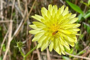 Carolina Desert-Chicory aka False Dandelion - Pyrrhopappus hypochoeris