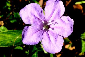 Carolina Petunia – Ruellia caroliniensis, 5 blue or violet petals, white stamen