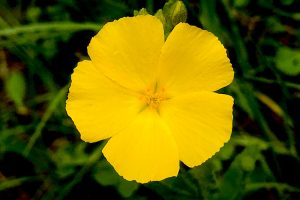 Carters Flax - Linum-carteri, tiny yellow flower with five overlapping petals, green star at center