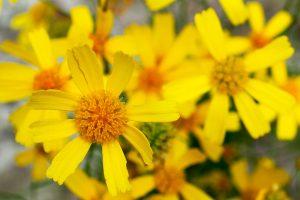 Coastal Plain Honeycombhead -balduina-angustifolia