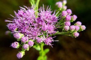 Florida Paintbrush - Carphephorus corymbosus, purple clusters with long purple stamens