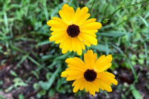 Florida Tickseed - Coreopsis floridana, small, long stem, many yellow petals of different lengths, brown center