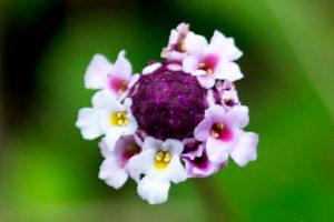 Frog Fruit - Phyla nodifloratiny, five petal flowers around a purple center