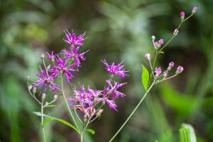 Giant Ironweed - Vernonia-gigantea,, tall, spindly, purple clusters