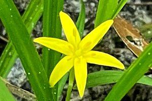 Grassleaf Yellow Star Grass - Hypoxis juncea
