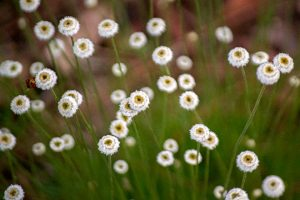 Hat Pins Flattened Pipewort Eriocaulon compressum