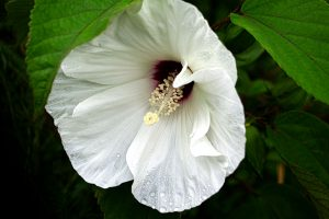 Neches River Rosemallow - Hibiscus dasycalyx, large white flower with overlapping petals and purple center, long stamen