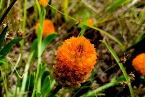 Orange Milkwort - Polygala lutea, small, low to ground, orange cylinder of petals