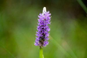 Pickerelweed - Pontederi cordata, long, purple oblong clusters in marsh and swamp