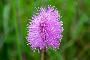 Powderpuff - Mimosa strigillosa, pink to lavender, pompom shape
