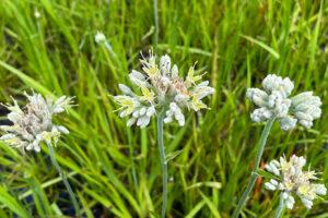 Redroot Carolina - Redroot Lachnanthes caroliniana