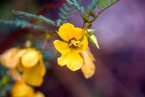 Sensitive Pea - Chamaecrista nictitans, four or five yellow petals, long stamen, red center, fern-like leaf