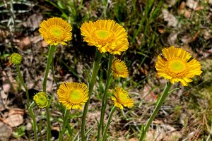 Southeastern Sneezeweed - Helenium pinnatifidum