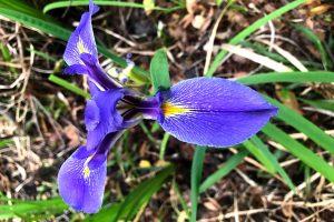 Southern Blue Flag Iris, Swamp, Iris, Virginia Iris - Iris-virginica, showy, marsh flower, 3 blue or purple petals, yellow or orange signal