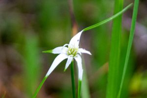 Fineleaf Whiteop Sedge - Rhynchospora coloratatiny white flower with green tips in grass