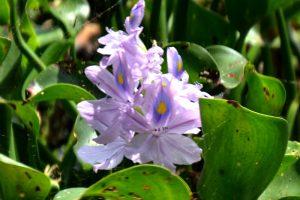 Water Hyacinth - Eichhornia-crassipes, aquatic, broad leaf, purple flower with orange splotch