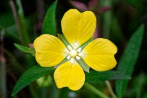 Wingleaf Primrose Willow - Ludwigia decurrens, five veined yellow petals may be heart shaped and a white center ovule
